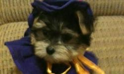 Easter Puppies: Yorkie puppies(Registered) and Morkie puppies for sale. Ready to be adopted to new homes. Yorkies $600 and Morkies $500. Has had their shots and wormings. Located in the Metairie area. 619-246-9878