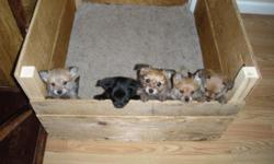 7 weeks old yorkie and pomeranian mix. I have 4 female (brown) and 1 male (black). Call or text 775-830-5356 if interested.