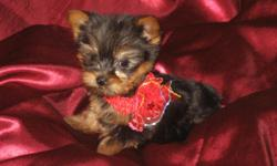 There is only two little Males left and they are CKC registered and up to date on shots and wormings. They only weigh 17 ounces right now and according to the yorkie growth chart they will be 4 pounds when grown. They are ready to go now or I can hold