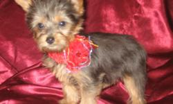 She is CKC registered and is up to date on shots and wormings. She weights right now 17 ounces and will be 4 pounds when grown according to the Yorkie growth chart. She is steel blue and gold and loves to play and is not shy or affraid of anything. She is