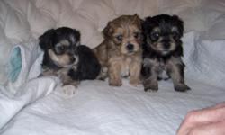 Cute Yorkie Bichon Mix pup's! Five weeks, will be ready in only 2 more weeks! 3 girls, 3 boys. They've been Vet Checked, had their shots, and been wormed! Also, we have P.O.P if you'd like to meet them. My name is Linda Sutton, you may contact me at
