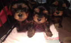 Yorkshire terrier DOB 10-04-2012 United All Breed Registry and Pedigree Service Blue Ribbon Division for more details call -- Thanks
