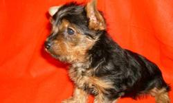 LOVE goes a long way with a beautiful AKC registered, Champion sired, blue and gold female Yorkie. Weight range 6 - 8 lbs grown. Raised in our pet home. For more information, pictures, and shipping details please contact us at 918-694-2425 or