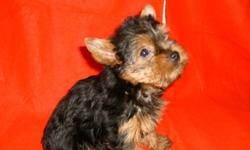 Bring LOVE into your Heart with a beautiful AKC registered, Champion sired, blue and gold female Yorkie's. Weight range 6 - 8 lbs grown. Raised in our pet home. For more information, pictures, and shipping details please contact us at 918-694-2425 or