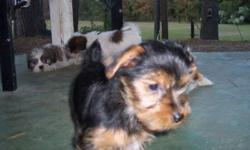Yorkie female , Little Miss Leah Ashley, 10 weeks old.. Potty trained .. UPTD on all shots and wormings.. Approx weight full grown 4 1/2#.. Call 919-277-4222