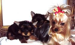 I am a representable breeder. I own 6 yorkies that I keep with me at all times. My yorkies are registered with AKC. I breed yorkies 3-8lbs. I have two yorkie M/$500, F/$700. My puppies are dewclaws and tail ducked by my professional vet. Lily is 4'5lbs