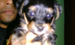 Yorkie puppy, male, born on Nov 13th 2010. Black, with brown markings, paper trained, eating soft food. Brothers have already been sold. If interested, we can negotiate a fair price, I know times are hard.