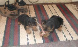 yorkie male 12 weeks old a real baby doll 350.00 purebreed he weigh about 5 to 6 ibs when full grown