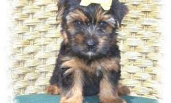 Beautiful black and gold male yorkie terrier. fluppy little boy,he is playful and a very good eater. Ready for a good home. Parents on sight. Please call for appoitment. CALL ME 305-992-0625