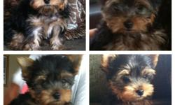 very cute tiny yorkie male. will be under 4lbs garrenteed!! father is 3.5, mother 6lbs. mother on premises. ACA registed (papers)Teddy bear face, full hair. short legs, compacted body. perfect size ears. almost potty trained. born 7/4/12 so he is about