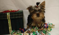 Yorkie puppy-ckc REg.-$450-.1-male- 14 wks old. ready for new home see info & pics at www.jspaws.com.  we are located in tifton, georgia-Sorry, no shipping, must come pic up in person.