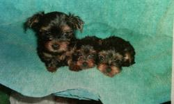 ADORABLE 7 WEEK OLD YORKIE PUPS FOR SALE VERY PLAYFUL AND LOVING 2 MALES AVAILABLE, HAVE FIRST SET OF SHOTS IF INTERESTED CALL: 561-688-3565 OR: 561-688-3565