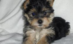 This ten week old male Morkie puppy is looking for the perfect new forever home. He has been Vet checked, de-wormed is up to date on all shots and has a complete health certificate. If you would like more information please call 304-575-7107.