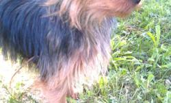silky yorkie, female, fun, energetic, trained, not spayed, needs new family