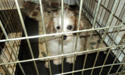 BEAUTIFUL BROWN AND WHITE FEMALE YORKIE POO. 6 MONTHS OLD. ALL SHOTS RECEIVED/ CALL 33 399-1194