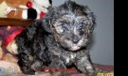 Adorable puppy for sale only $350. If you are interested please call --.