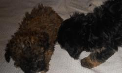 8 week old yorkie poo pups. Have 2 female and two males. Have been wormed, tails docked and dew claws removed.