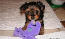 I have 1 female Yorkie pup for sale. 9 wks old. She has had her first 2 shots. She weighed 1 lb 13 oz last wk. Raised in our home. 641-373-0830