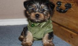 2 month old Yorkie Puppies are ready to go home, they are updated on vaccinations, dewormed very healthy active cuddly and lovely. They were born on February the 24th 2011, if you need more details please Email or TEXT me and i will gladly send you