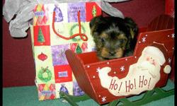 We have CKC Yorkie puppies that will be ready for Christmas. Female is $500 and the Males is $400. They will have first shots and have been wormed 2 times and will be ready to start a life with their new family. Our precious little beauties are spoiled,