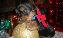 Beautiful Yorkie puppies AKC. Blue/gold parti carriers. 1 fem 2 males.will be UTD Shots/ wormings Mom is 5 lbs Dad is 2 lbs. Long coats, baby faces