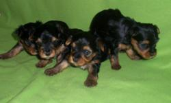3 females and 1 male: Father is AKC registered and they will be ready in about 1 1/2 weeks with their first round of shots