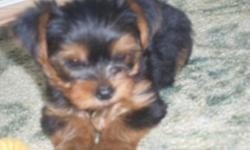 Yorkie puppies : Seven weeks today up to date on wormings, going in and the doggie door, eating benefal puppy. Will be between 3.5 pounds and 4.5 pounds will be ckc registered. WE have really good references. Please call 561-274-1081