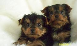 2 small male yorkie puppies for sale. parents are small, father is 3 lbs, AKC/CKC reg. w/champion bloodline in his background. mother is 4 1/2 lbs, CKC reg but out of AKC stock. first shots, vet checked, health certificate, CKC reg. both have really good