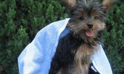 Beautiful male Yorkie puppies.  Classic black and tan markings.  These puppies are not yippers, but have a even temperment.