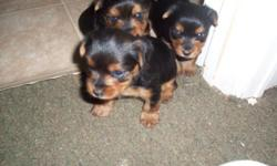 2 female yorkshire terrier puppy will be ready for adoption July 16th. She will have her 1st shot as well as de worming already done. She will get to be about 6-7 lbs when fully grown. asking price 550.00 for each female. AKC champion bloodline yorkshire