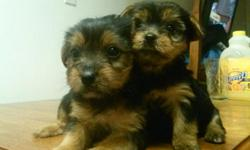 Hi i have three female Yorkies and one male.They are very playful and energetic.very loving puppies. They are potty trained.they also have their tails docked and they were also de clawed. I have the mom and dad on site. They would make a great gift for