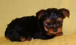 Adorable little dolls, male and female. Born April 20. AKC registration. Health checked, guarantee. Shots and wormed up to date. Healthy, and playful. Raised in our home and well socialized.