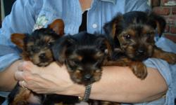 Two cute male Yorkie puppies,little girl sold, current on shots, ready for their forever home, 13 weeks old. Mom is AKA registered, dad is CKC registered. Littler is registered. Tails docked, dew claws removed. Please call and leave message with name and