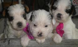 Yorkie puppies for sale!!The mom is about 4 to5lbs and the dad is about 5 to 6lbs. The mom is a chocolete and the dad is a white(Parti) color!! They will be very small!! If you want one of these little Yorkies!! Call at --