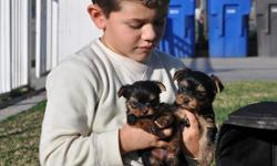 ADORABLE YORKIE PUPPIES 2MALES AND 2 FEMALES. 7 WEEKS OLD, CKC REGISTERED READY TO GO FOR CHIRSTMAS THE PRICE IS 800 PLEASE CONTACT HECTOR AT --