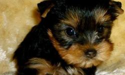 We have available some very cute and adorable Yorkie puppies for this season.They are vet checked,AKC and CKC registered and are updated with their shots.They are very friendly with kids and other home pets and are perfect pets for any good home.They are
