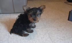 YORKIE PUPPY ,C.K.C. SHOTS AND DEWORMED, SMALL SIZE VERY CUTE AND PLAYFUL. TO GOOD HOMES, TWO SMALL MALES. FEMALE WILL BE READY LATER. COME WITH SHOTS RECORD AND THEIR VERY OWN BLANKET. CALL FOR MORE IFO. 931/232/7441 OR 931/627/1628