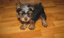 10 week old, very sweet, playful male yorkie pup. CKC registered. 2 set of shots and has been dewormed. Has been vet check. He is ready for a loving home. Should mature around 5 or 6 pounds. $400. 803-222-5675.