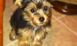 Pure bred yorkie pups for sale. 2 females left. Puppies expected weight is 4-4.5lbs. Very cute and lovable. Born 8/25, shots are current. Ready to move today.