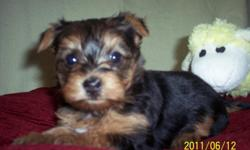 Willow is a sweet little yorkie pup. She was born 5-8-11. She will be ready for her new home 7-3-11. She is registered CKC. She will have her shots and dewormed. She has a great personality and will make a wonderful pet. Her mom is 6 pounds and dad is 4