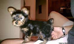 Adorable 8wk old Male Yorkshire Terrier.New accessories included: play pen,crate,dish,toys, etc. Dew claws removed,docked tail,1st shot. Great dog. Would love to keep but other pets not so accepting. Please call or text(505)280-0728.