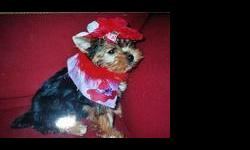 Yorkshire Terrier Puppies ready for there new homes they will be Teeny Tiny ... www.yorkie-palace.com thank you