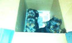 1 female and 1 male yorkie pup. 8 wks old.  Vet inspected, first shots, and registered.   --