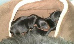 Black & Tan, 1 female, 1 male, tails docked and dew claws removed. Raised in home with parents, both adorable, affectionate and intelligent. Pups are available after 12/11/10.