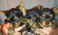 AKC reg. 3 males 8 weeks old champion bloodline parents are 5lbs and they are show dogs grand sires on both side are champions over 27 champions within 5 year generation. Live in Elko NV will deliver to Winnemucca or Windover. 775-388-2794