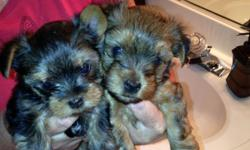 Yorkie Puppies, AKC Registered, 2 males, 8 weeks old, 1st shots already, Great Christmas gift!!!