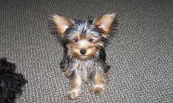 Full Yorkie coloring, born March 26, 2012. Will need one more shot. She is beautiful with a wonderful personality. Very cuddly and friendly. Will be your best friend.