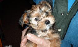Beautiful and ready for loving home. 3/4 Yorkie, 1/4 Shitzu. healthy happy playful. Female and male Available. Vet checked, first shot, wormed, no fleas. CALL 503 475-3837. ONLY TWO LEFT