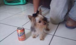 Hey I have a tine toy size yorkie his name is Lucky.. He is in the look for a good looking dam. He is AKC and 1 ½ pounds .. blue & gold in color.   Hola tendo un yorkie su nombre es Lucky y esta en busca de una linda nena.. Lucky  tiene registro