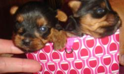 Teacup Yorkies CKC, very tiny Male $700 and Females $750 born 8-21-11 Taking deposits at this time, ready to go home 10-21-11 call 229-242-5699 email hlopshire#yahoo.com also check out web site www.klspuppies.com